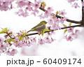 桜にメジロ 60409174