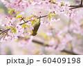 桜とメジロ 60409198