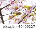 桜にメジロ 60409227
