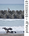 エゾシカの亡骸に群れるオオワシとカラス(北海道) 60460319