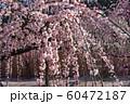 結城神社のしだれ梅 60472187