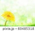 たんぽぽ 60485318