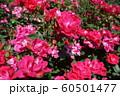 神宮ばら園の薔薇の花 60501477