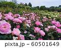 松阪ベルファームの薔薇 60501649