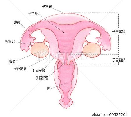 子宮の構造 部位 文字ありのイラスト素材