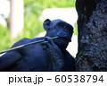 チンパンジー 60538794