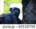 チンパンジー 60538798