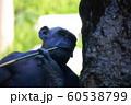チンパンジー 60538799