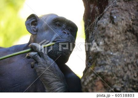 チンパンジー 60538803