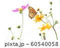 コスモスと蝶 60540058