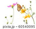コスモスと蝶 60540095