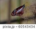 チョウ 足立区生物園 60543434
