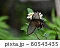 チョウ 足立区生物園 60543435
