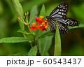 チョウ 足立区生物園 60543437