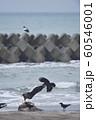 エゾシカの亡骸に群れるオオワシとカラス(北海道) 60546001