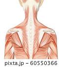 筋肉標本 女性 perming3DCGイラスト素材 60550366