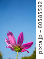 single pink cosmos flower in flowers field with daylight and blue sky background 60585592