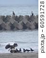 エゾシカの亡骸に群れるオオワシとカラス(北海道) 60591728