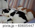 猫のお昼寝 60605447