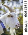 かわいいヤギ 60613645