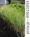 畑でネギの栽培 60613854