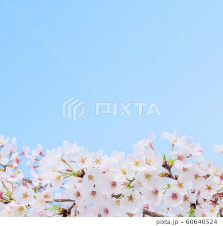 桜の花 60640524