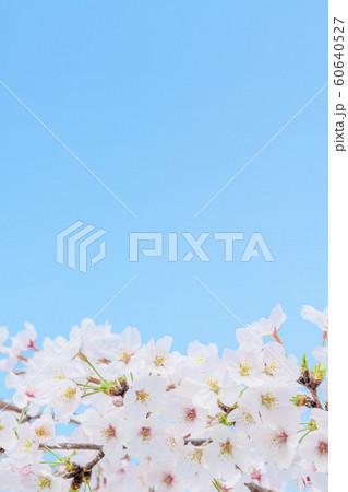 桜の花 60640527