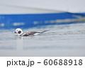 コオリガモのオス(北海道) 60688918