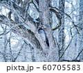 冬を耐えるエゾフクロウ 60705583