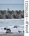 エゾシカの亡骸に群れるオオワシとカラス(北海道) 60730221