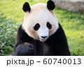 笹の葉を食べるパンダ 60740013