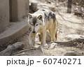 【オオカミ】シンリンオオカミ 60740271