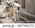 【オオカミ】シンリンオオカミ 60740273