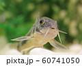 コリドラス(青コリドラス) 熱帯魚 60741050