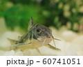 コリドラス(青コリドラス) 熱帯魚 60741051