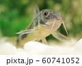 コリドラス(青コリドラス) 熱帯魚 60741052