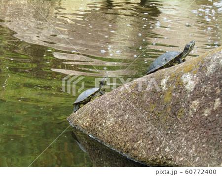 稲毛海浜公園の池に亀さん 60772400