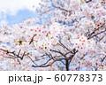 桜、青空、雲 60778373