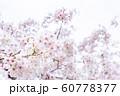 桜、春の雰囲気 60778377