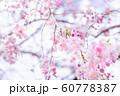 桜、春の雰囲気 60778387