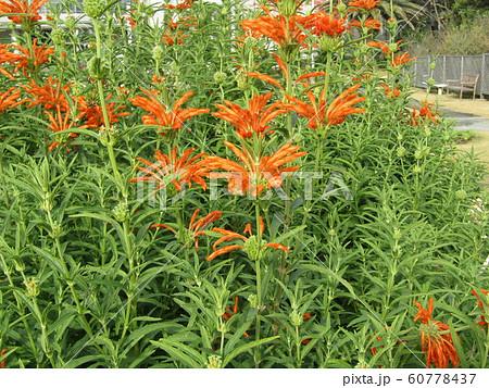 花びらに毛が生え、綿を着せたよな カエンキセワタのオレンジ色の花 60778437