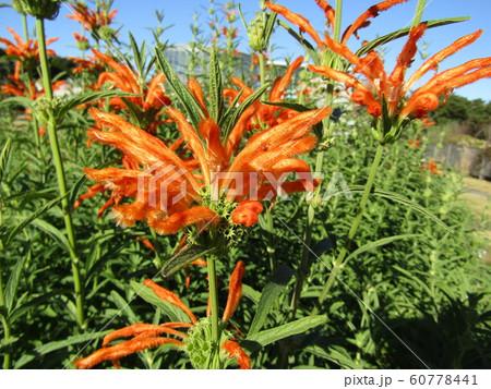 花びらに毛が生え、綿を着せたよな カエンキセワタのオレンジ色の花 60778441