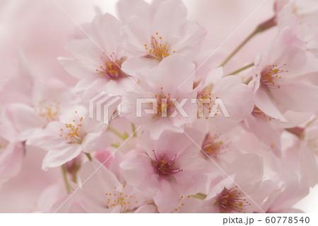 束桜 60778540