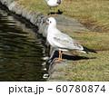 稲毛海浜公園野池に来たユリカモメ 60780874