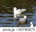 稲毛海浜公園野池に来たユリカモメ 60780875