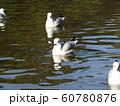 稲毛海浜公園野池に来たユリカモメ 60780876
