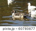 稲毛海浜公園のオナガモとユリカモメ 60780877