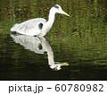 稲毛海浜公園の池のアオサギ 60780982