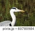 稲毛海浜公園の池のアオサギ 60780984
