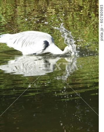 稲毛海浜公園の池のアオサギ 60780985